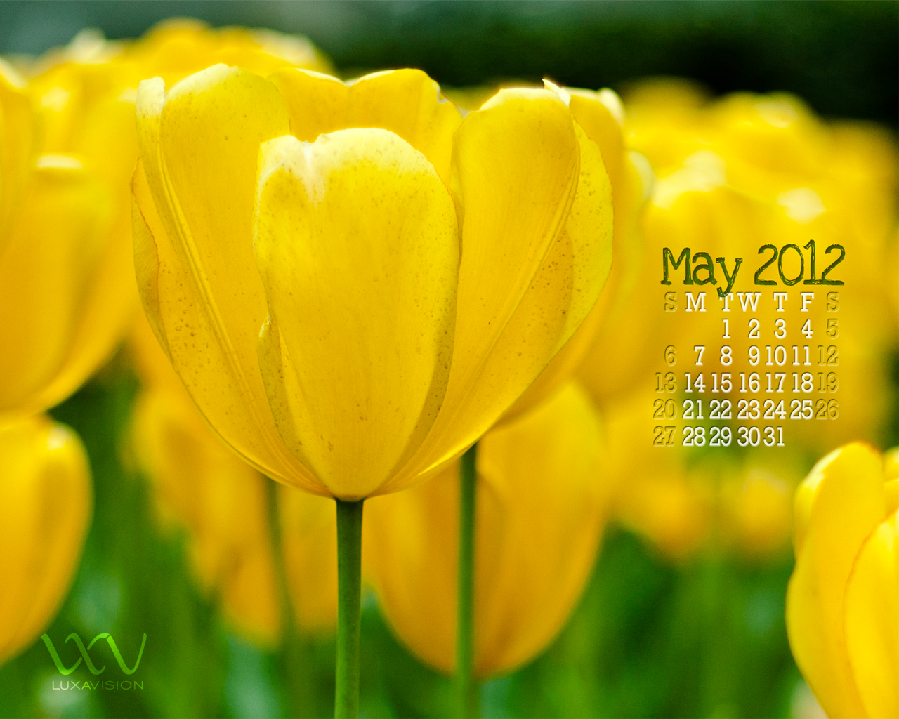 Desktop Calendar for May 2012 - Yellow Tulips Macro 1280x1024
