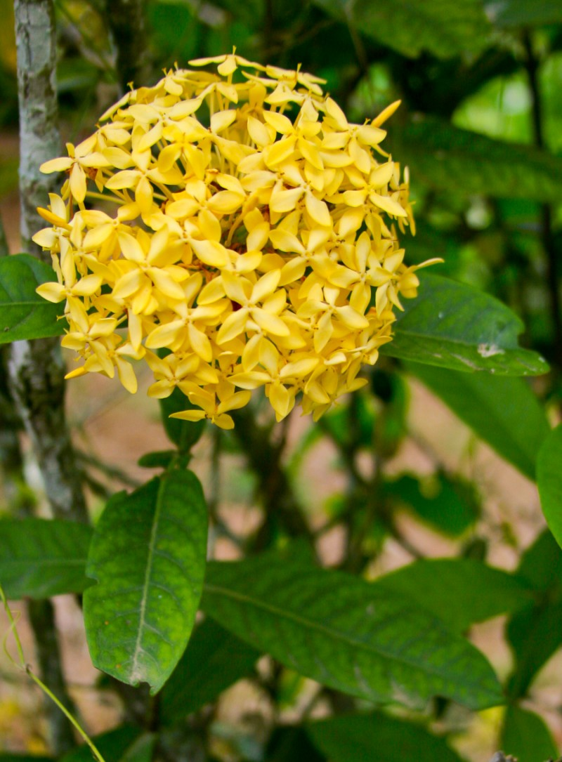 Ball Of Small Yellow Flowers