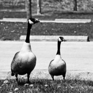 Canadian Geese at Bluffer's Park
