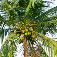 Coconut Tree Philippines
