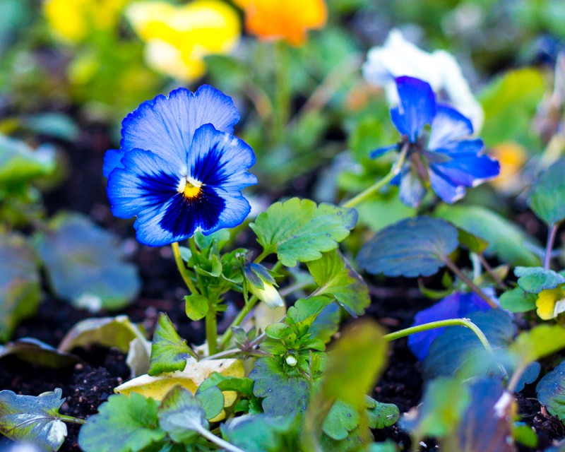 Blue Flower Bed